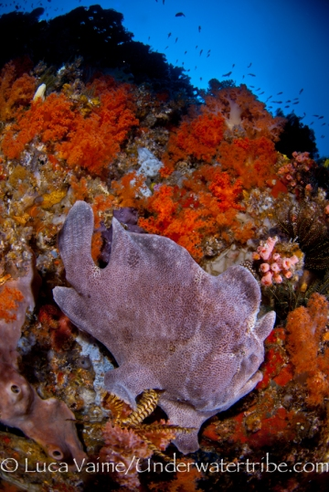 Frogfish in W Reef, near PADAR