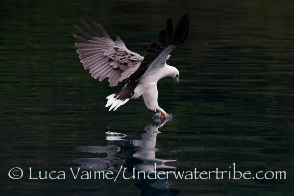 A white Belly Eagle from Komodo
